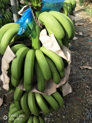 广西壮族自治区南宁市西乡塘区广西蕉 七成熟 40 - 50斤