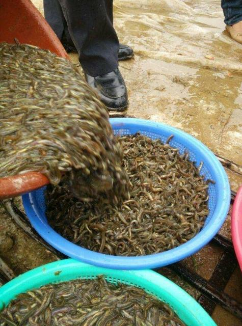 真泥鳅苗 台湾泥鳅苗