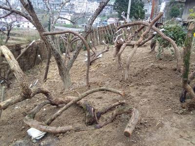 湖北省宜昌市五峰土家族自治县猕猴桃老树桩