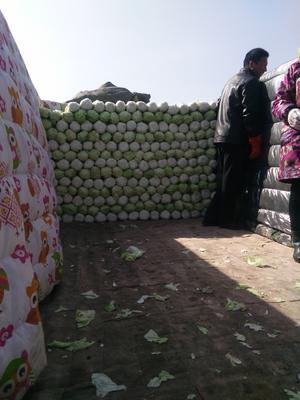 河北省保定市定州市北京三号大白菜 3~6斤 净菜