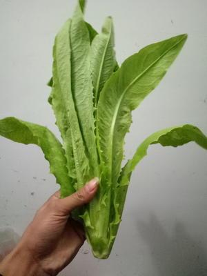河南省商丘市宁陵县青油麦 25~30cm以上