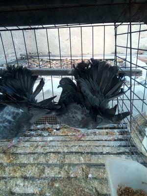 山东省济宁市市中区灰色珍珠鸡 2-4斤