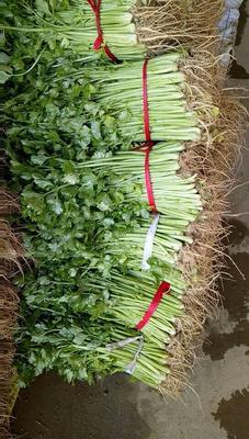 河南省南阳市新野县西芹 40~45cm 大棚种植 0.5斤以下