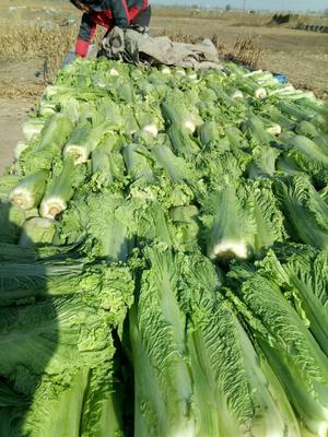河北省唐山市丰南区秋绿60白菜 3~6斤 毛菜