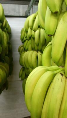 广东省东莞市东莞市广东香蕉1号 八成熟 70斤以上