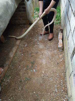 广西壮族自治区崇左市扶绥县黄金蛇 作种