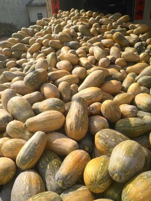 海南省儋州市儋州市金韩蜜本南瓜 4~6斤 长条形