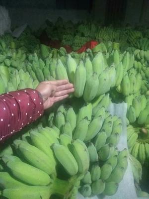 广西壮族自治区百色市那坡县西贡蕉 八成熟 40 - 50斤