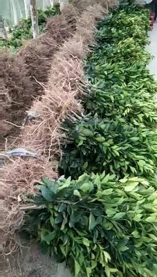广西壮族自治区玉林市玉州区柑树苗 0.5~1米
