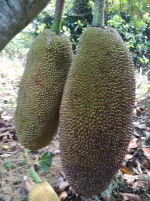 海南省琼海市琼海市海南菠萝蜜 10-15斤