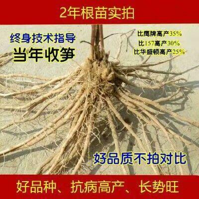 山东省菏泽市曹县芦笋根 12cm以上 5mm以上
