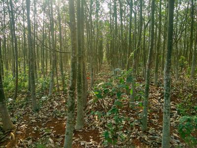 海南省海口市美兰区独杆发财树