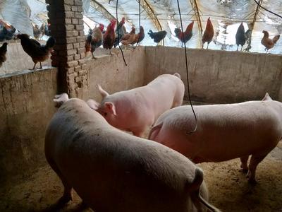 辽宁省锦州市黑山县土杂猪 300斤以上
