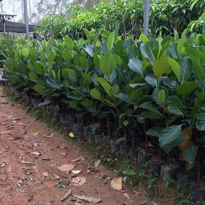 马来西亚一号菠萝蜜苗 嫁接苗,带土球发货