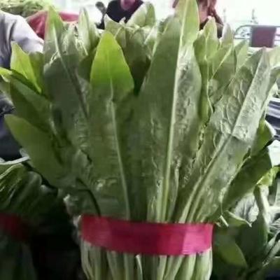 河北省邯郸市永年县美冠油麦菜 15~20cm以上