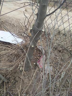 山东省菏泽市郓城县红花木槿树