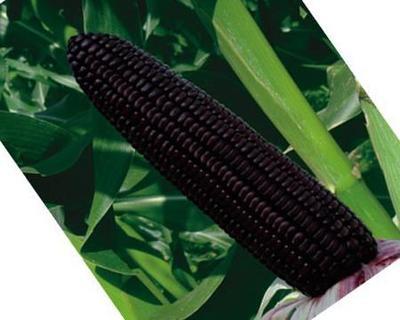 四川省成都市温江区玉米种子
