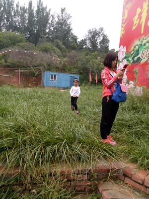 山东省滨州市惠民县春菠菜 20~25cm