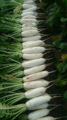上海浦东新区白玉春萝卜 1.5~2斤