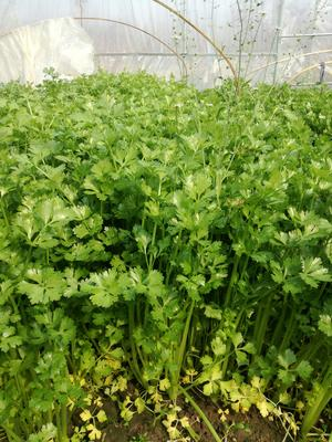 江苏省南通市港闸区皇妃芹菜 45~50cm 大棚种植 0.5斤以下