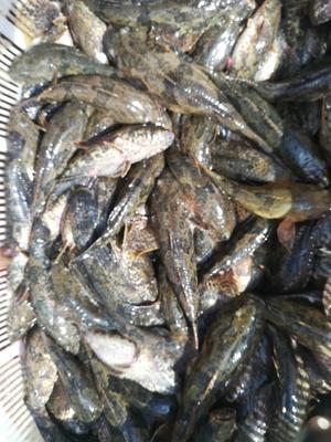 浙江省湖州市长兴县沙塘鳢 野生 0.5公斤以下