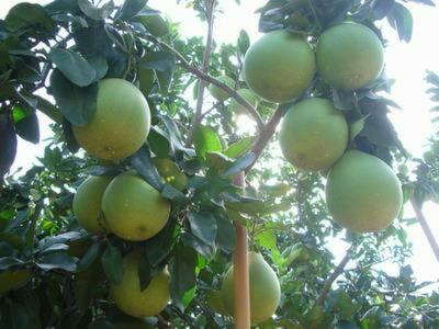 广东省梅州市大埔县梅州蜜柚 2斤以上
