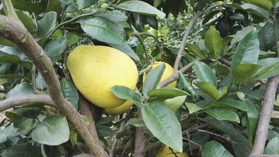 湖南省长沙市岳麓区蜜柚 4斤以上