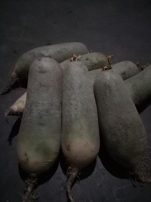 山东省潍坊市昌邑市水果萝卜 0.2~1斤