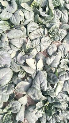 河南省开封市通许县全能菠菜 10~15cm