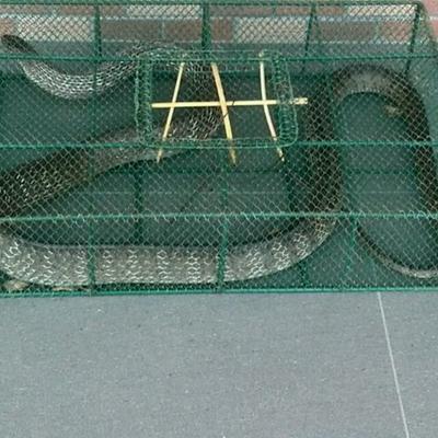 贵州省遵义市湄潭县水律蛇 食用