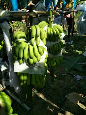 云南省文山壮族苗族自治州广南县巴西香蕉 七成熟 60 - 70斤