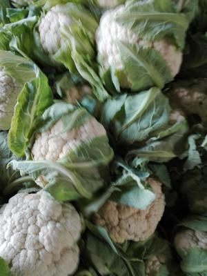 陕西省汉中市洋县白花菜花 紧密 1~2斤 乳白色