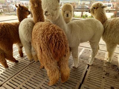 山东省菏泽市郓城县澳洲羊驼