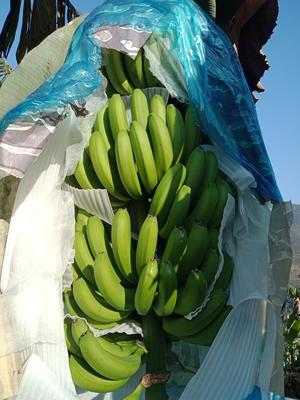 云南省西双版纳傣族自治州景洪市西双版纳香蕉 七成熟 40 - 50斤