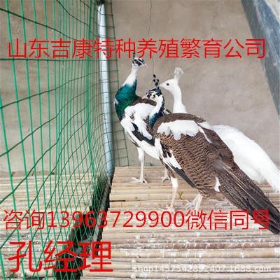 山东省济宁市嘉祥县白孔雀