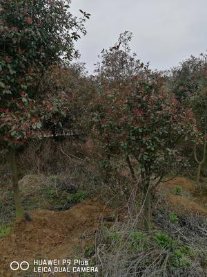 江西省宜春市樟树市高杆红叶石楠