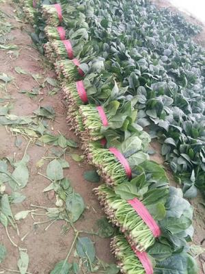 山东省滨州市惠民县越冬菠菜 25~30cm