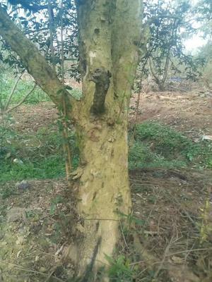 云南省红河哈尼族彝族自治州蒙自市造型石榴树