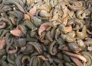 广西壮族自治区桂林市象山区野生金线水蛭