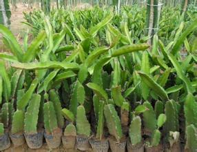 广西壮族自治区钦州市灵山县火龙果种子