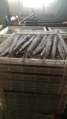 山东省青岛市黄岛区胶东带鱼 野生 0.5公斤以下