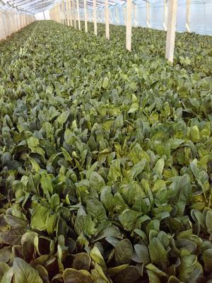 北京丰台区越冬菠菜 20~25cm