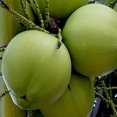 不去皮椰子 4 - 5斤