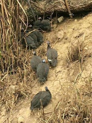 福建省泉州市德化县灰色珍珠鸡 2-4斤