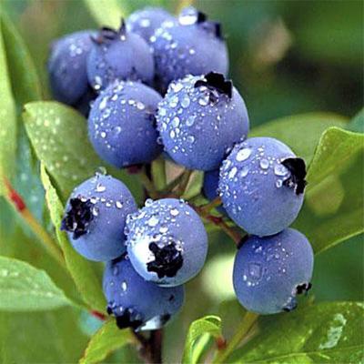 蓝丰蓝莓苗