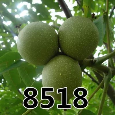 8518核桃苗
