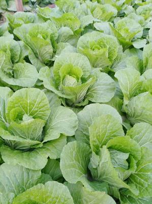 山东省潍坊市青州市菊锦春白菜 2~3斤 毛菜