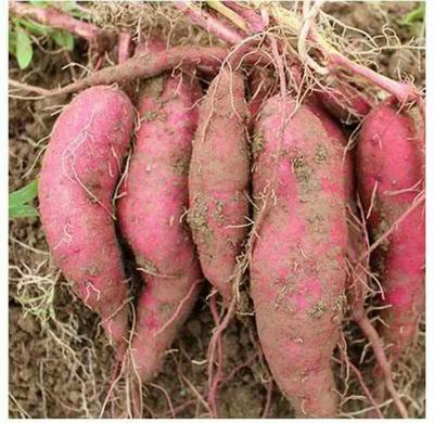 广东省广州市天河区红薯干 整果状 袋装 半年