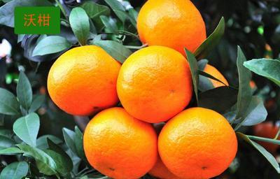 沃柑苗  0.5~1米 嫁接苗 品种纯正,可签合同