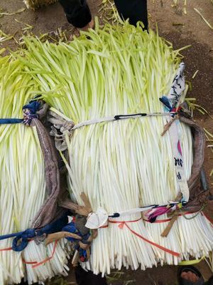 云南省红河哈尼族彝族自治州弥勒市弥勒韭黄 二茬 50~60cm